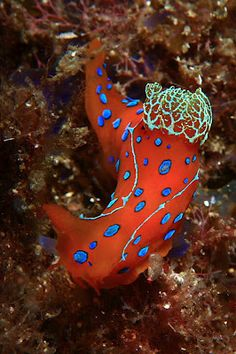 Polycera Elegans Nudibranch- can grow to lengths of up to 48mm. The body ranges in color from yellow to bright orange with distinctive raised bright blue spots scattered over the dorsum and sides of the body.