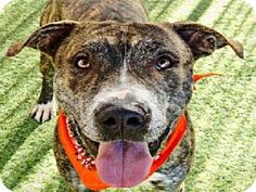 Phx, Az.     Breed:     American Pit Bull Terrier Mix    Color:    Unknown    Age:    Adult        Size:    Large 61-100 lbs (28-45 kg)    Sex:    Male     ID#:    5264644      I am already neutered.    RUXPIN's Story...       Act quickly to adopt RUXPIN. Pets at this shelter may be held for only a short time.