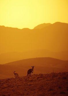 Kangaroos, Flinders Ranges - by John White
