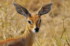 Steenbok. Photos by Arno