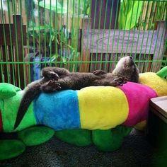 Otter naptime