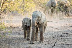 Website dedicate to Wildlife photography Wildlife Photography, Animal Photography, Elephants Playing, Big Animals, Kruger National Park, African Elephant, Graphic Art, Safari, Gallery
