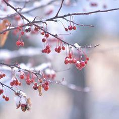 【ikuya0229】さんのInstagramをピンしています。 《冬になるとどこも真っ白で、赤い実がひどく目をひきます。 #fruit #plants #tree #snow #morning #nature #forest #winter #hokkaido #木の実 #植物 #木 #雪 #朝 #自然 #森 #冬 #北海道 #旭川》