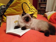 The read-little-prince-before-sleep cat