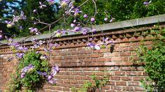 Thalictrum rochebruniianum 'Lavender Mist'--Meadow Rue Old Westbury Gardens, Walled Garden, Mists, Lavender, Fenced Garden