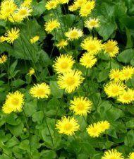 Doronicum orientale - kevätvuohenjuuri