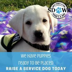 We have puppies ready to be placed! Find out how you can become a service dog raiser. http://www.sdwr.org/service-dog-raiser-program/