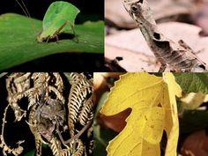 Nature Blows My Mind! Amazing leaf-mimicking animals
