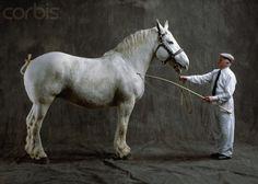 Boulonnais Horse   Boulonnais Horse