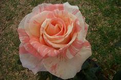 Photo of the rose 'Brindabella Swirl' Rose Photos, Beautiful Roses, Australia, Flowers, Plants, Gardens, Florals, Planters, Flower
