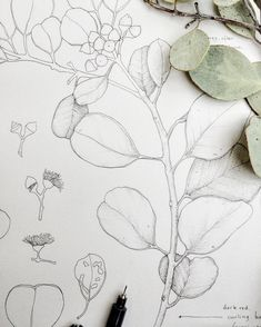 Round-leaved mallee pen wip- can't wait to colour this one up! #illustration #wip #malleepal #olivepink #olivepinkbotanicgarden #australianflora