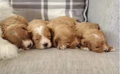 Meet our adorable Cavalier and Cavapoo puppies for sale. All pups have a Health Guarantee and are Well Socialized by our family at Willow Ridge farm! King Charles Puppy, King Charles Spaniel, Cavalier King Charles, Cavapoo Puppies For Sale, Dogs And Puppies, Forever Puppy, Poodle Mix, Puppy Food, Therapy Dogs