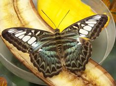 Butterfly on a banana ~