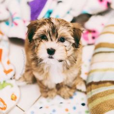 #tbt to one of the very first pics I ever took of Oliver; weeks before he ever came home with us! (Photo by @monicasisson)  #puppy #havanese #bestwoof @bestwoof   pitterpatterfurryfeet.com  |  pitpatfurfeet  by pitterpatterfurryfeet