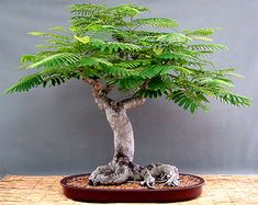 Royal Poinciana, aka Flamboyant tree, is an excellent selection for bonsai. Bonsai Jacaranda, Flowering Bonsai Tree, Bonsai Tree Care, Bonsai Tree Types, Indoor Bonsai Tree, Mini Bonsai, Bonsai Plants, Bonsai Garden, Wisteria Bonsai