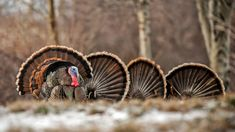 The MeatEater Guide to Turkey Hunting Informations About The MeatEater Guide to Turkey Hunting Pin You can easily use my … Hunting Humor, Coyote Hunting, Pheasant Hunting, Hunting Tips, Archery Hunting, Turkey Hunting Season, Turkey Calling, Deer Hunting Blinds, Wild Turkey