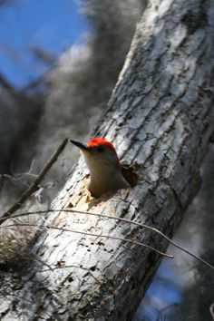 Woodpecker peeking out of tree.