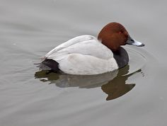 The common pochard (Aythya ferina) is a medium-sized diving duck. Pochards are superficially similar to the closely related North American redhead and canvasback. These are gregarious birds, forming large flocks in winter, often mixed with other diving ducks such as the tufted duck, with which they are known to hybridise. These birds feed mainly by diving or dabbling. They eat aquatic plants with some molluscs, aquatic insects and small fish. They often feed at night, and will up-end for…