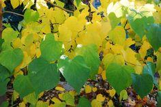 cercis canadensis à l'automne