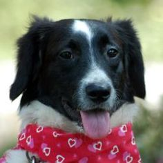 Sophie is an adoptable Border Collie Dog in West Grove, PA. Beautiful, Beautiful, Beautiful! Is the only way to describe this baby girl. This 'pocket sized ' Boarder Collie is right in style with toda...