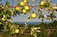 Apples growing over Grand Traverse Bay.  Food photography by Diane Greene Lent