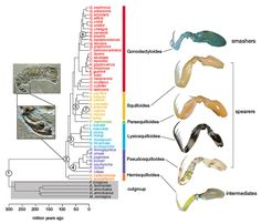 This abridged version of the family tree of more than 450 mantis shrimp species shows that smashers evolved from spearer-like ancestors. Ancient mantis shrimp fossils also had raptorial appendages. Understanding the diversity and evolution of mantis shrimp appendages lends insight into the costs and benefits to moving ultrafast.  Figure adapted from T. Claverie and S. N. Patek, 2013.  #mantisshrimp #organisms #biology #appendages #animals #fastanimals #science