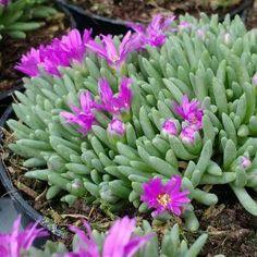 Bloeiende Vetplanten Voor Buiten.17 Beste Afbeeldingen Van Winterharde Vetplanten