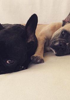 #frenchbulldog #dog#carlabikini