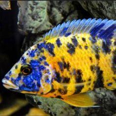Tropical Aquarium, Tropical Fish, Aquarium Fish, Malawi Cichlids, African Cichlids, Animals, Animales, Animaux, Exotic Fish