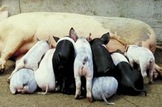Numerous terms are used to describe pigs of various ages, sexes and ultimate purpose, such as sow, boar, piglet, sucker, weaner, baconer, porker, chopper and stag. When a young pig is up for sale, or being shown, however, it usually is referred to as a barrow or a gilt. These terms define not only the sex of the pig, but also its ultimate potential purpose.