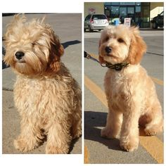 In this article, we will be discussing Goldendoodle grooming. We will outline the most important steps on how to groom a Goldendoodle, and we will even touch a little bit on Goldendoodle grooming styles. Cockapoo Haircut, Goldendoodle Grooming, Puppy Haircut, Mini Goldendoodle Puppies, Dog Grooming Tips, Goldendoodle Haircuts, Goldendoodles, Labradoodles, Standard Goldendoodle