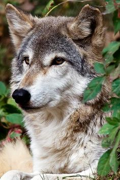.Wolves