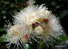 Syzygium paniculatum - Australian Brush Cherry