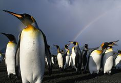 Rainbow Above Colony of King Penguins Saint Andrews Bay South Georgia Island Sub-Antarctica Canvas Art - Paul Souders DanitaDelimont x Penguin Day, King Penguin, Penguin Awareness Day, South Georgia Island, Under The Rainbow, Animals Of The World, Antarctica, Hanging Out, Mammals