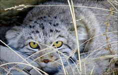 We are happy that, next to the wellknown Snow Leopard, also the Pallas cat will be better protected. The Pallas cat is on the edge of extinction.During our tri