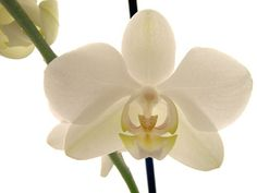 Google Image Result for http://monicrenksy.files.wordpress.com/2011/04/white_orchids_pot_plants.jpg