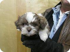 South River, NJ - Shih Tzu/Miniature Poodle Mix. Meet Oscar a Puppy for Adoption.