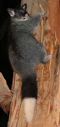 Australian Brushtail Possum (Trichosurus vulpecula) a Marsupial native to Australia Unusual Animals, Rare Animals, Animals Beautiful, Funny Animals, Australian Possum, Australian Birds, Reptiles, Mammals, Australia Animals