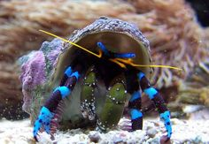 Electric blue hermit crab. Hes beautiful. I want him!