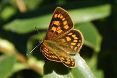 Image result for copper butterflies drawings new zealand