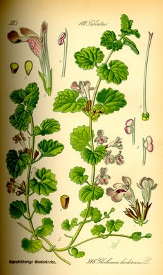 Illustration_Glechoma_hederacea0.jpg (1406×2381)