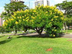 Canafístula-de-besouro – Senna spectabilis – Árvore decídua, nativa do nordeste, de florescimento ornamental e pequeno porte.