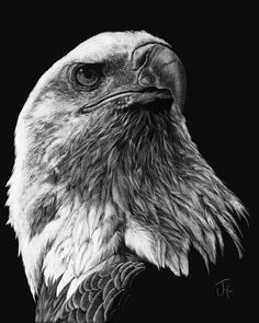 Magical - scratchboard artwork by Jennifer Hartwig Animal Sketches, Animal Drawings, Pencil Drawings, Black Paper Drawing, Black And White Drawing, Eagle Drawing, Scratchboard Art, Scratch Art, Desenho Tattoo