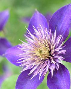 Waldrebe 'Multi Blue' • Clematis 'Multi Blue' • Clematis 'Multi Blue' • Pflanzen & Blumen • 99Roots.com