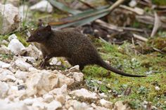 Speckled Dasyure : The Speckled Dasyure (Neophascogale lorentzi), also known as the Long-clawed Marsupial Mouse, is a member of the Dasyuromorphia order. It is an inhabitant of Papua, Indonesia and Papua New Guinea. It is the only member of the genus Neophascogale.