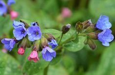 Navadni pljučnik (Pulmonaria officinalis) je zdravilna rastlina, ki pomaga zdraviti bolezni pljuč, kot so astma, bronhitis, pljučnica, tuberkuloza.