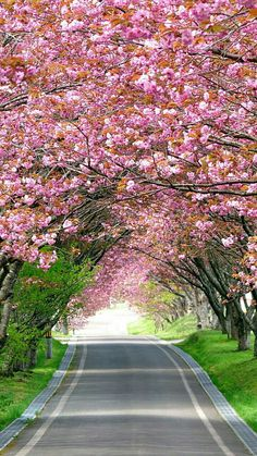 Road between Splendid Cherry Blossom Wallpaper Beautiful Roads, Most Beautiful Gardens, Beautiful Flowers Garden, Beautiful World, Beautiful Places, Wallpaper Nature Flowers, Beautiful Landscape Wallpaper, Beautiful Landscapes, Studio Background Images