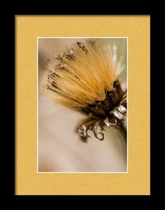 Dried Thistle Bloom Framed Print featuring the photograph Not Forgotten by Marnie Patchett