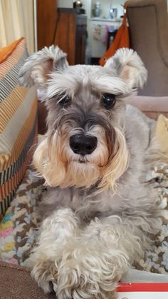 Schnauzers are the best YouTube: Zakia Chanell  pinterest: elchocolategirl instagram: elchocolategirl  Snapchat: elchocolategirl  (Subscribe & follow to me loves❤️)