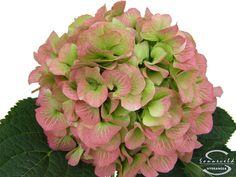 """Cut hydrangea flower """"Verena"""" (Red, Green)"""